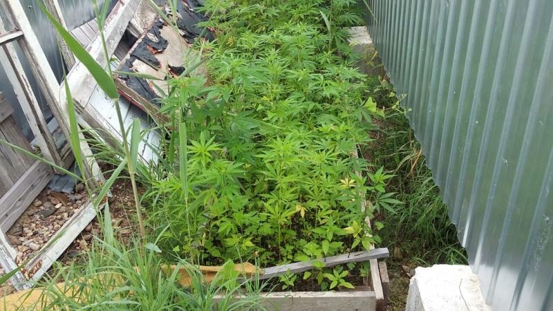 В п. Смидович на приусадебном участке вместо овощей выращивали коноплю