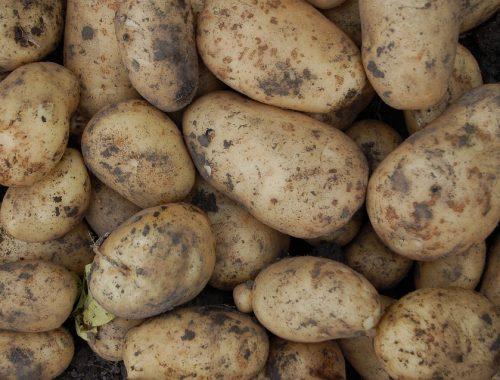 В ЕАО накопали 9 тысяч тонн картошки