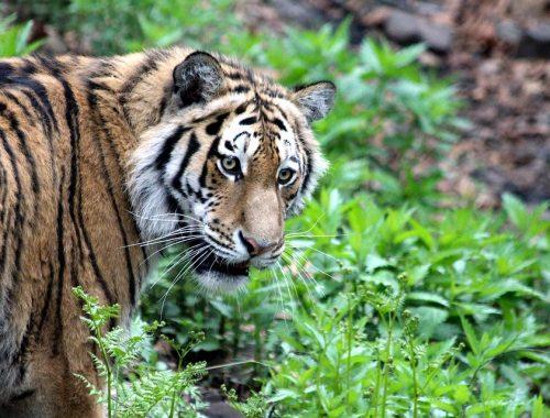 В Хабаровском крае тигр насмерть загрыз охотника