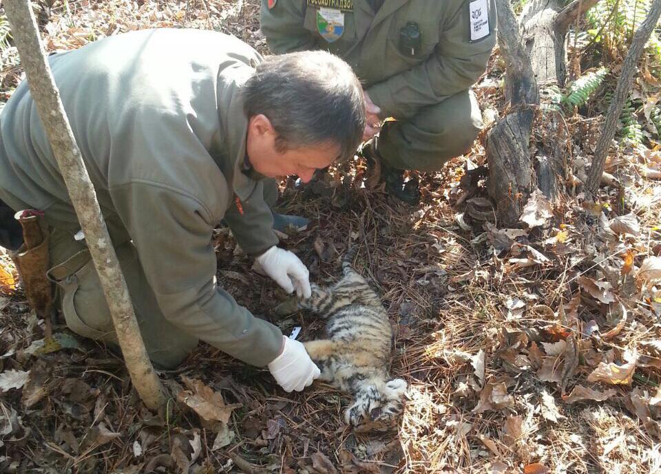 Мёртвого тигрёнка обнаружили в Хабаровском крае
