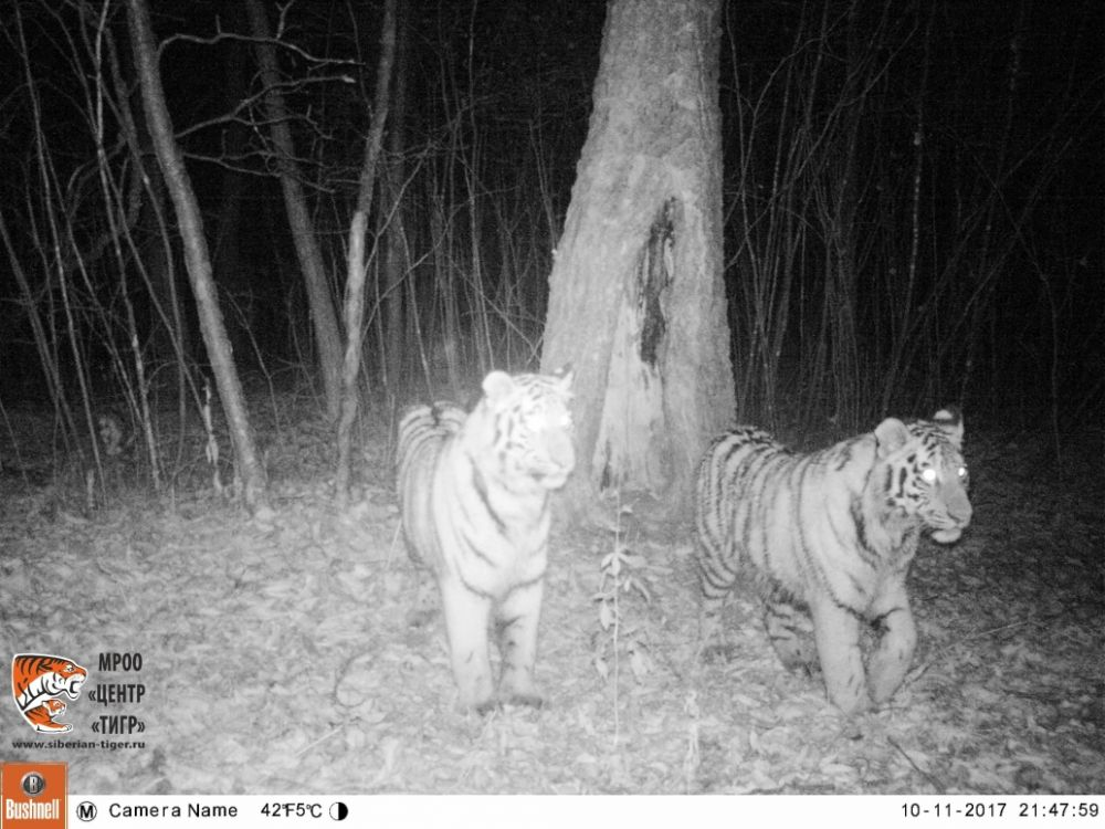 Численность амурских тигров в ЕАО увеличилась до 11 особей