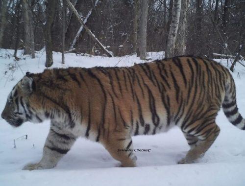 Тигр Восток вновь «угодил» в фотоловушки заповедника «Бастак»