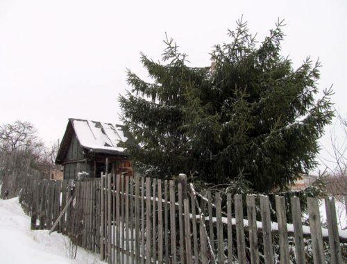 Новогодняя история: в Даниловке спилили ёлочку под самую макушку