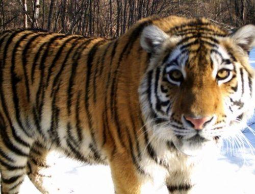 Тигрица Золушка из заповедника «Бастак» во второй раз стала мамой