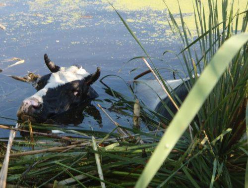 На Мясокомбинате три дня погибала корова, но никто не обращал на неё внимание