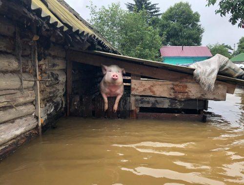 В двух селах Ленинского района сожгут всех свиней из-за африканской чумы