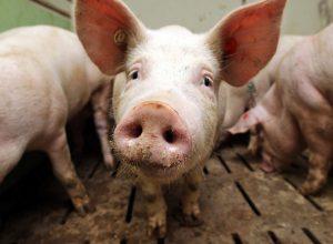 Карантин не помог: вирус африканской чумы свиней добрался до Октябрьского района