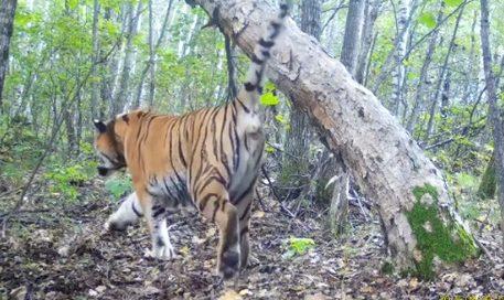 В ЕАО тигр Борис и его сын попали в фотоловушку