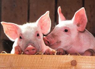 Свыше 4 млн рублей компенсации нужно заплатить владельцам уничтоженных свиней в ЕАО