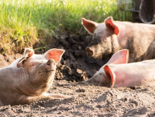В ЕАО объявили карантин из-за африканской чумы свиней