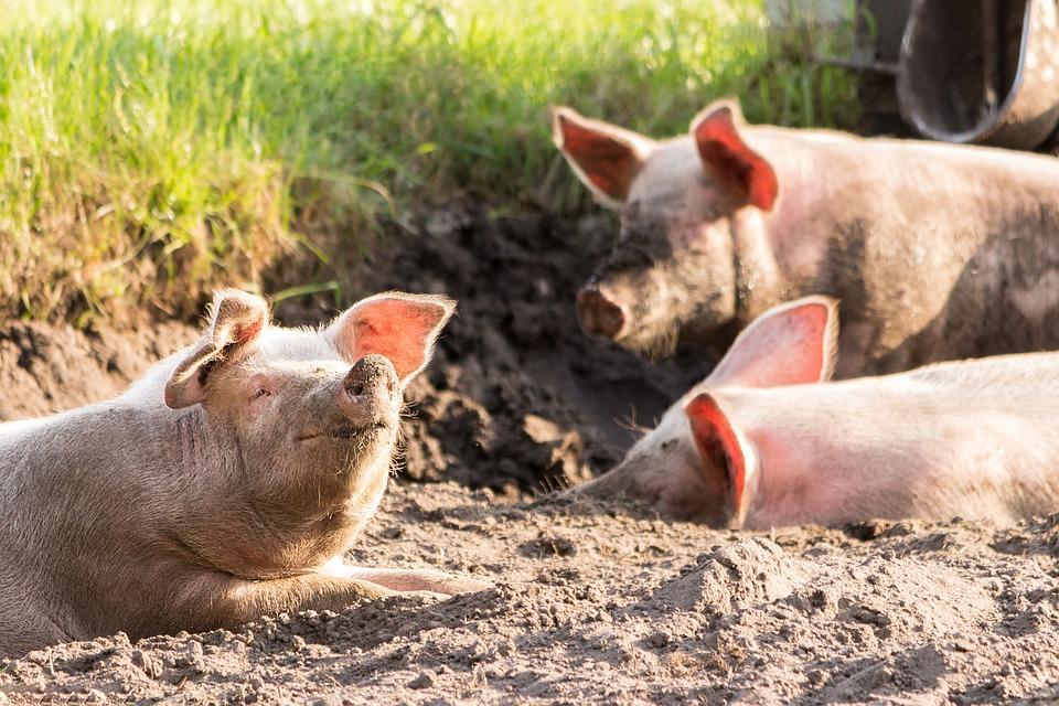 В ЕАО количество очагов африканской чумы свиней увеличилось до 10