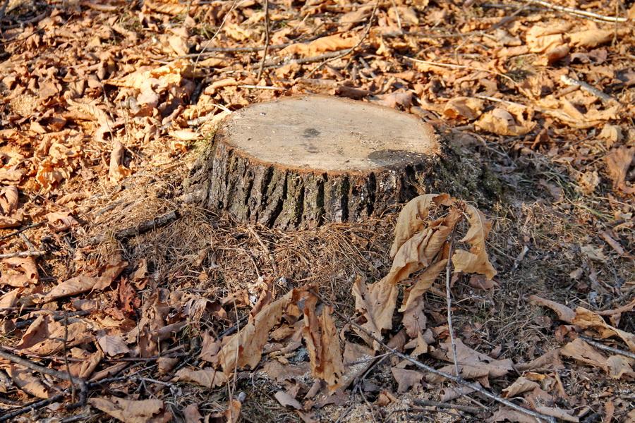 Жителей Раздольного шокировала ликвидация дубов на окраине села
