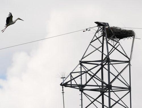 В ЕАО энергетики помогают аистам строить безопасные гнёзда