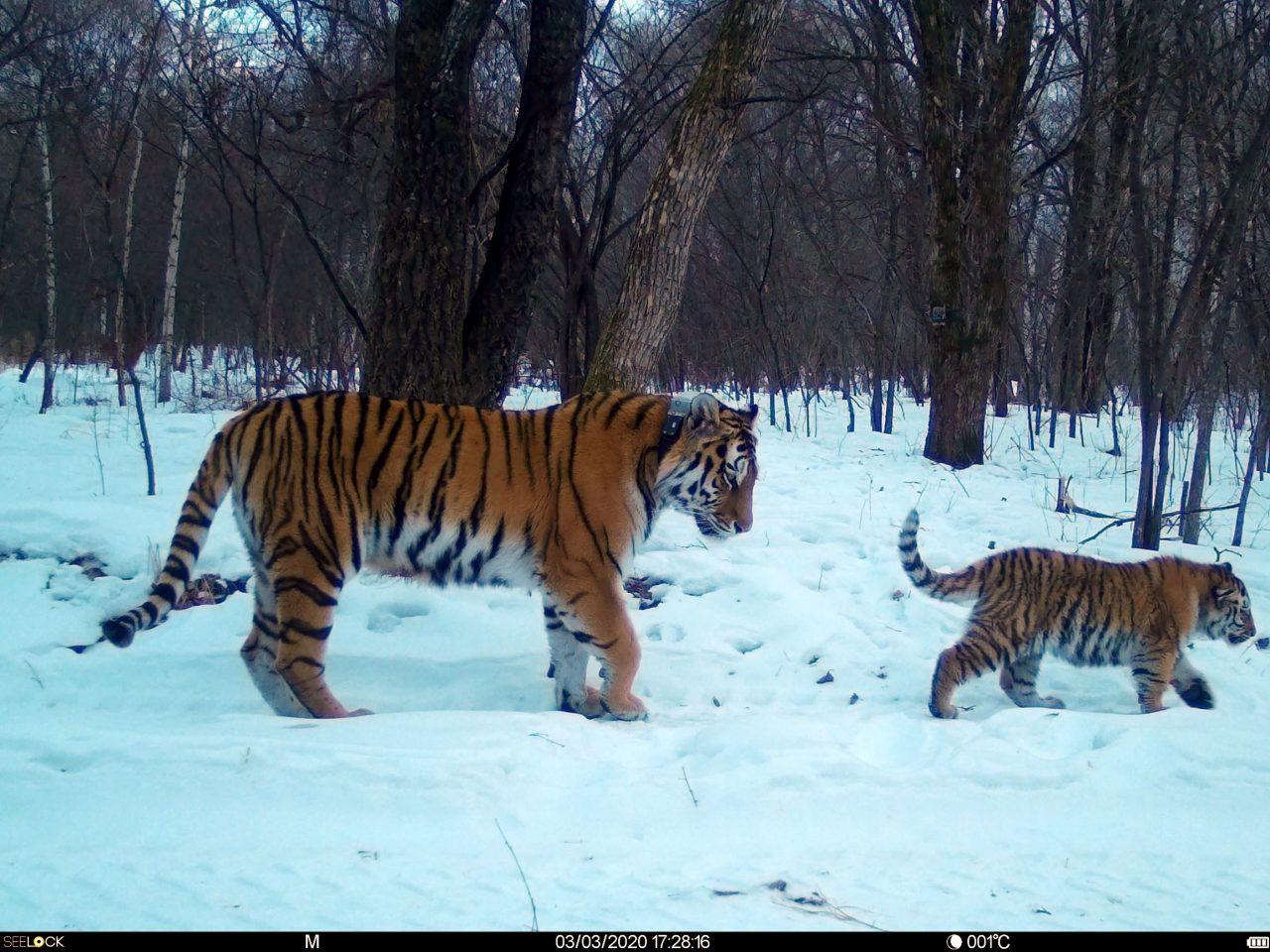 Вплавь пришлось возвращаться на родину тигрице из ЕАО и её тигрёнку
