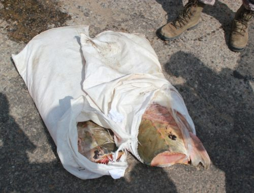 Два биробиджанца заплатят до 1 млн рублей за незаконную ловлю осетровых