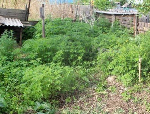 Более 1000 кустов конопли росло на дачном участке биробиджанца