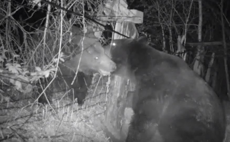 В ЕАО два медведя подрались на российско-китайской границе