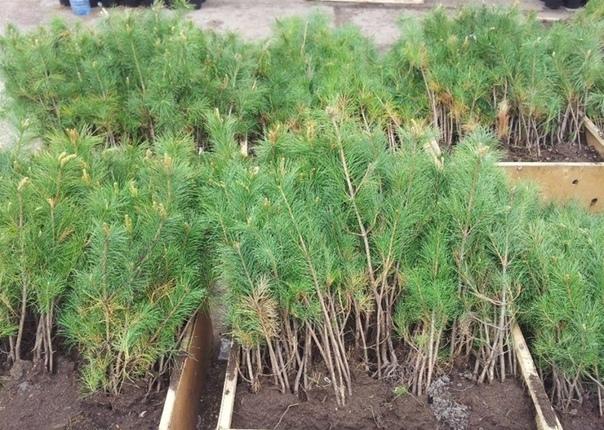 В ЕАО высадят 45 тысяч сеянцев в рамках акции «Сохраним лес»