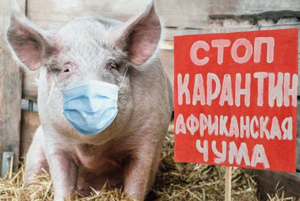 Африканская чума свиней проникла в Биробиджан, но правительство ЕАО на это не реагирует