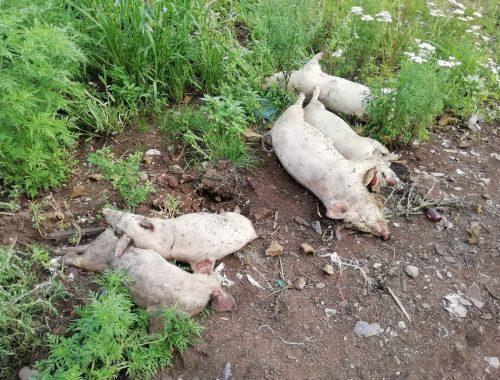 В ЕАО определили алгоритм действий в случае обнаружения очага африканской чумы свиней