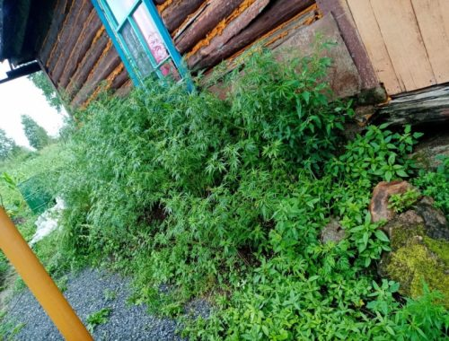 26 кустов конопли и 338 кустов мака росло на приусадебном участке жителя Кульдура