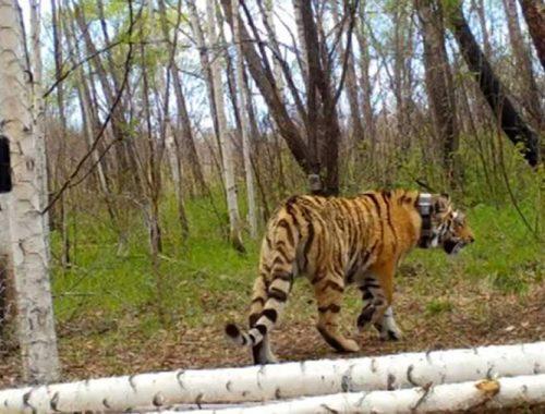 В Амурской области в дикую природу выпустили отловленную в Приморье тигрицу