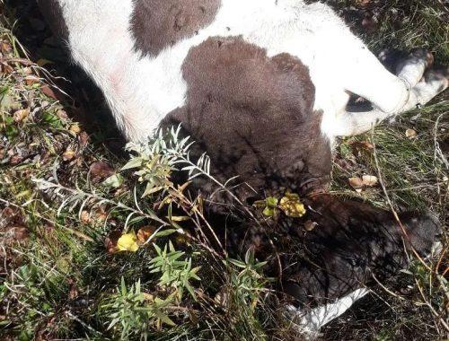 Расстрелянных коров обнаружили на пастбище в Биробиджанском районе